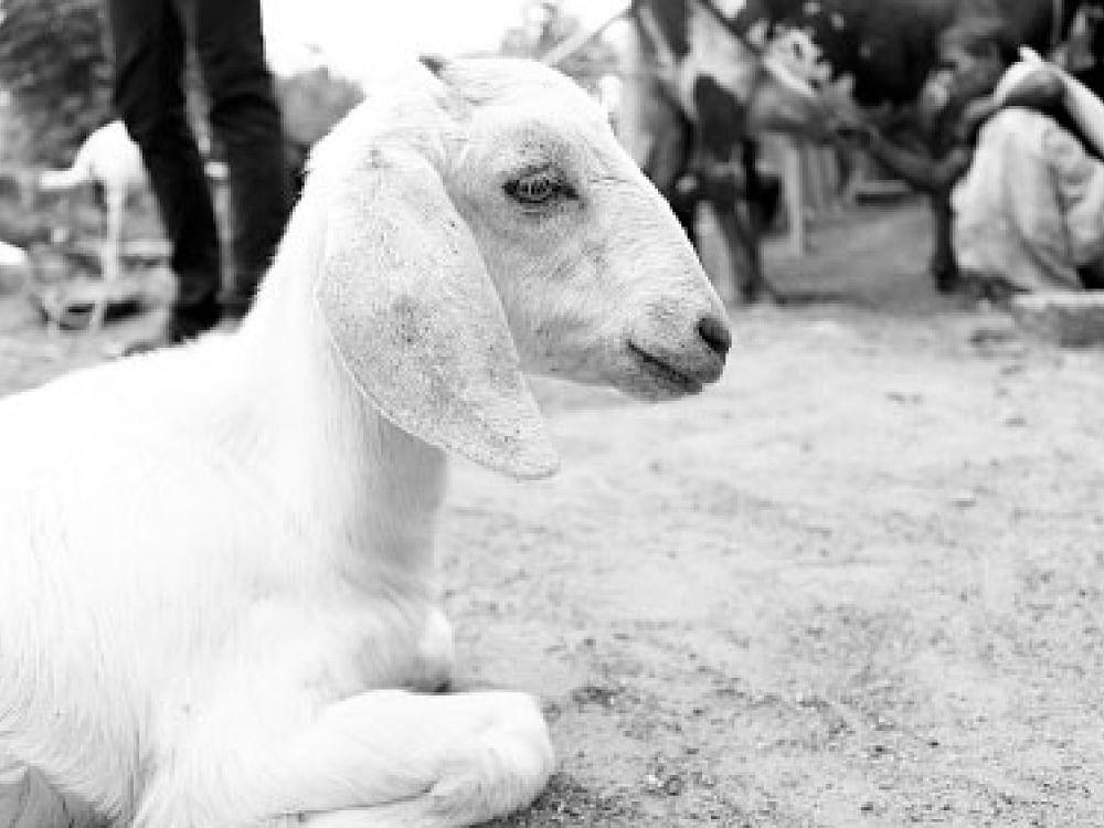`லாரி மோதியதால் உயிரிழந்த ஆடு!' - மூன்றரை மணி நேரத்தில் 2.7 கோடி நஷ்டமடைந்த நிறுவனம்