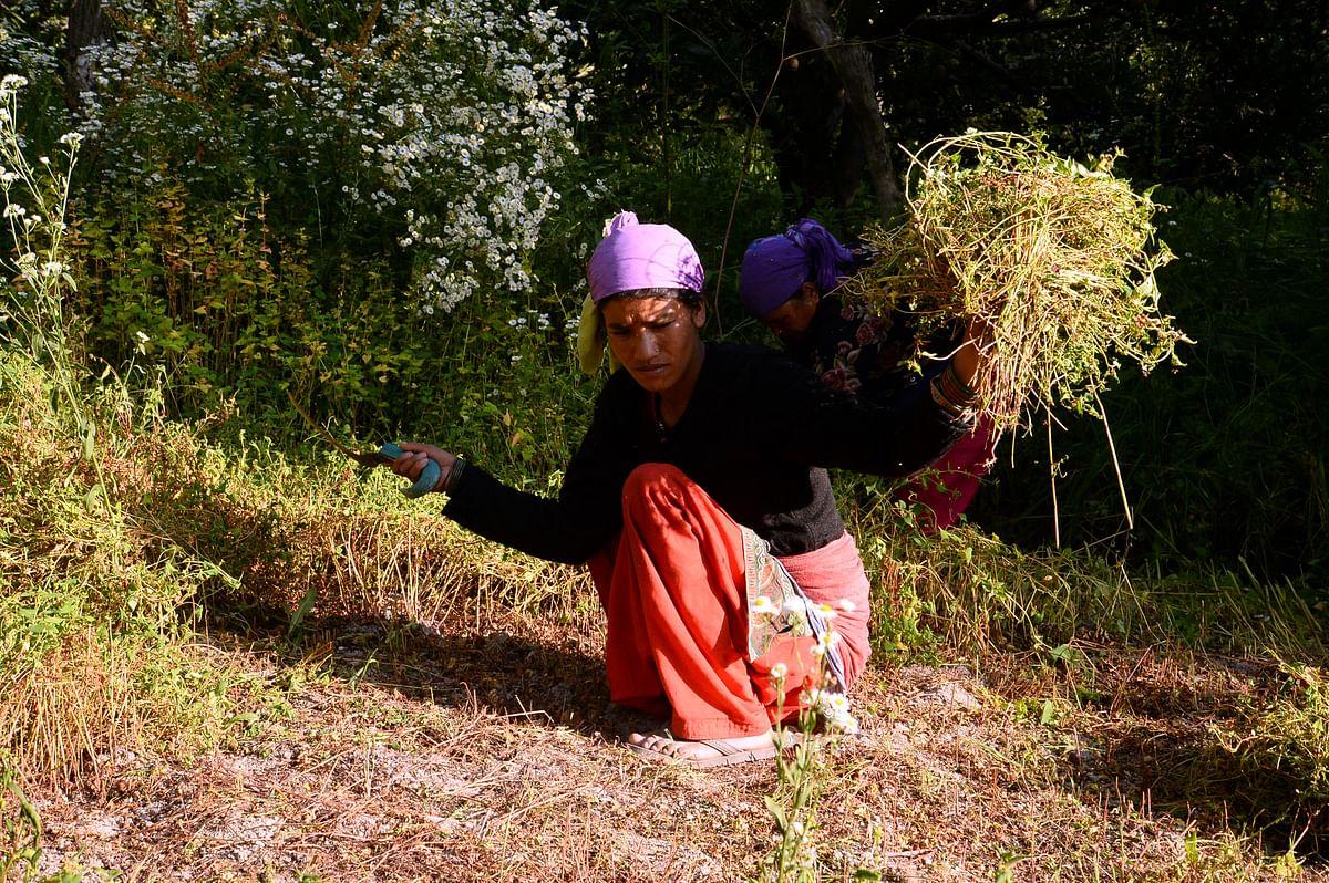 ஆப்பிள் தோட்டத்தில் பராமரிப்புப் பணியில் ஈடுபட்டுள்ள பெண்
