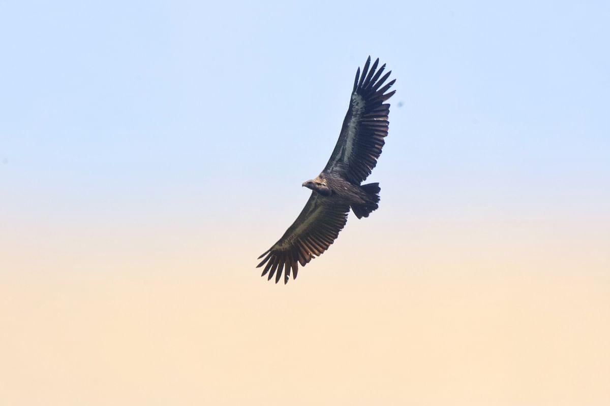 பாறு கழுகு/ Save Vulture