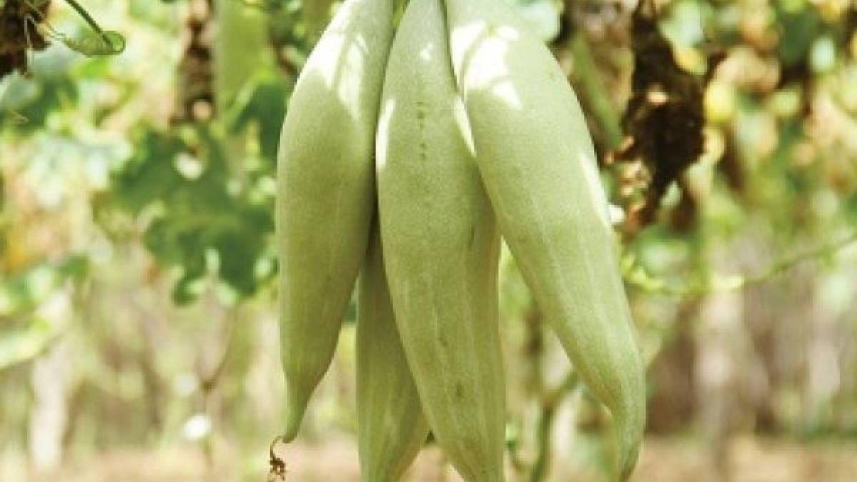 Snake Gourd (Vegetable)