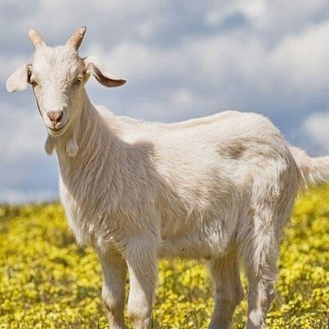 Goat - File Photo