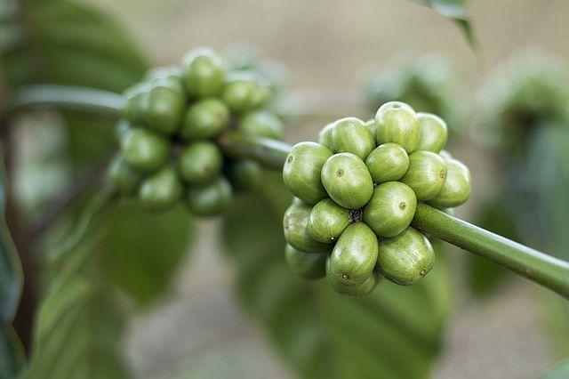 Coffee Nuts