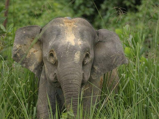 Borneo pygmy