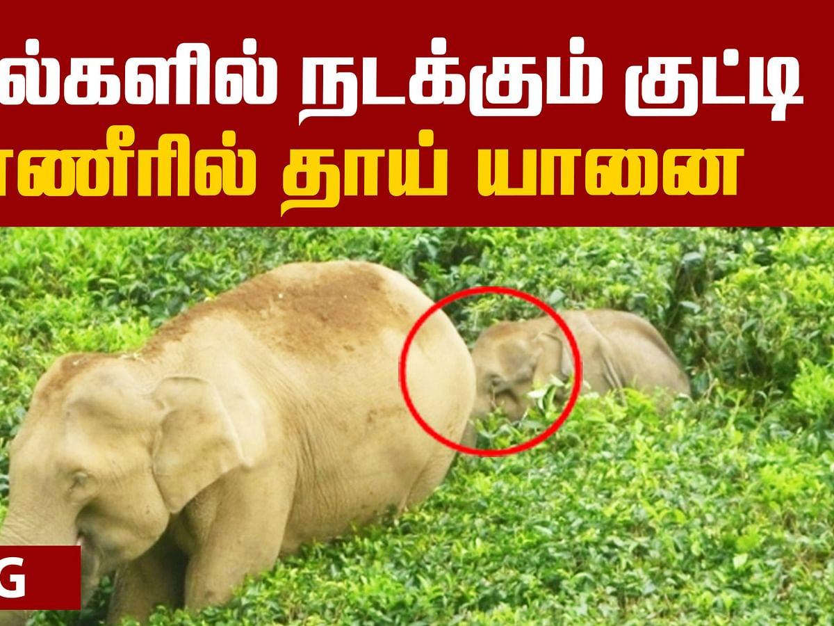 An Injured Baby Elephant struggles! | Viral Video