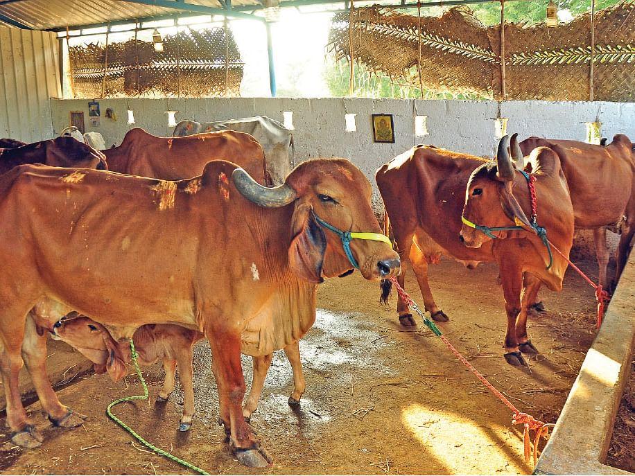 ஈரமான தீவனங்களைக் கொடுக்கக் கூடாது... மழைக்கால கால்நடைப் பராமரிப்பு முறைகள்!