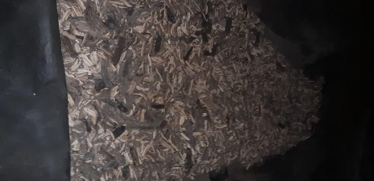 கருப்புநூல் கடல் அட்டை
