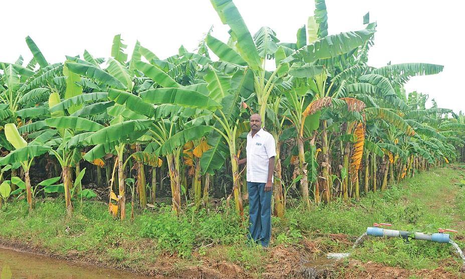 செழித்து வளர்ந்திருக்கும் வாழை மரங்களுடன் பிரசன்னா ரெட்டி