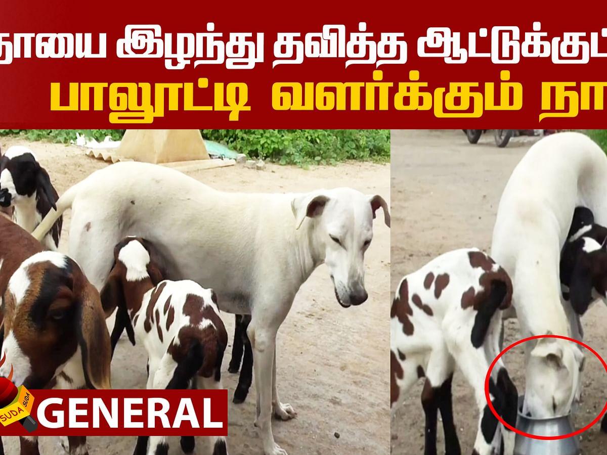 A Dog's affection towards lambs!