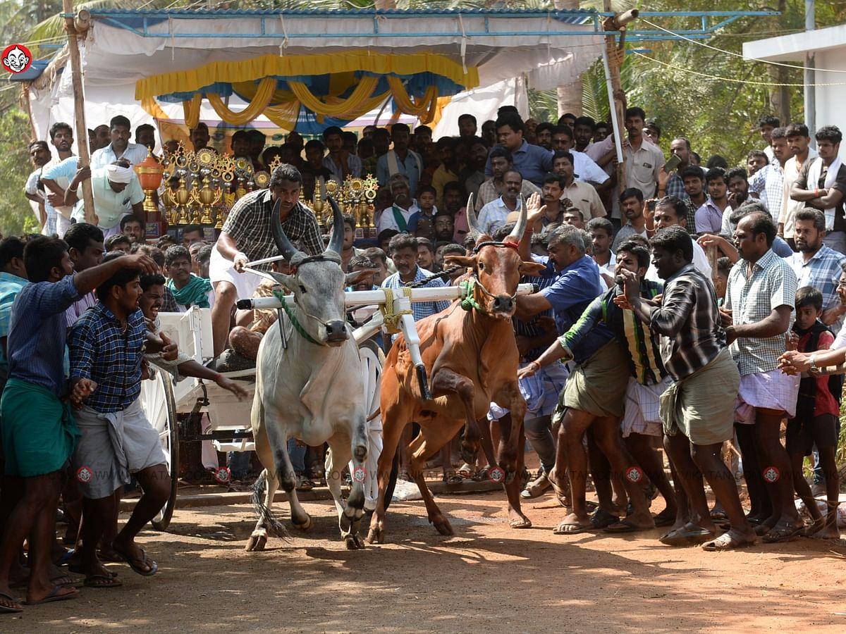 கோவையில் ரேக்ளா பந்தயம்... சீறிப்பாய்ந்த காளைகள்!