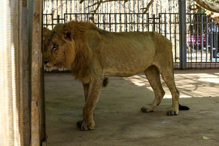 சிங்கம்/ Vandalur Zoo
