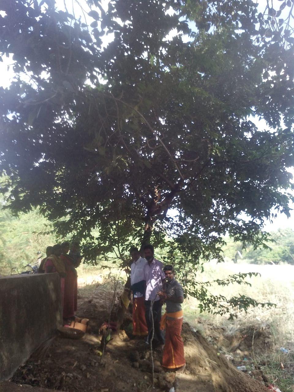 உருத்ருத்ராட்ச மரம்