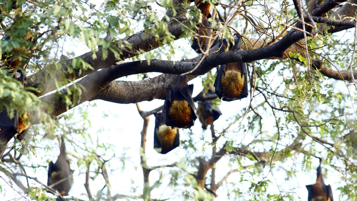 மரங்களில் தொங்கும் வௌவால்கள்