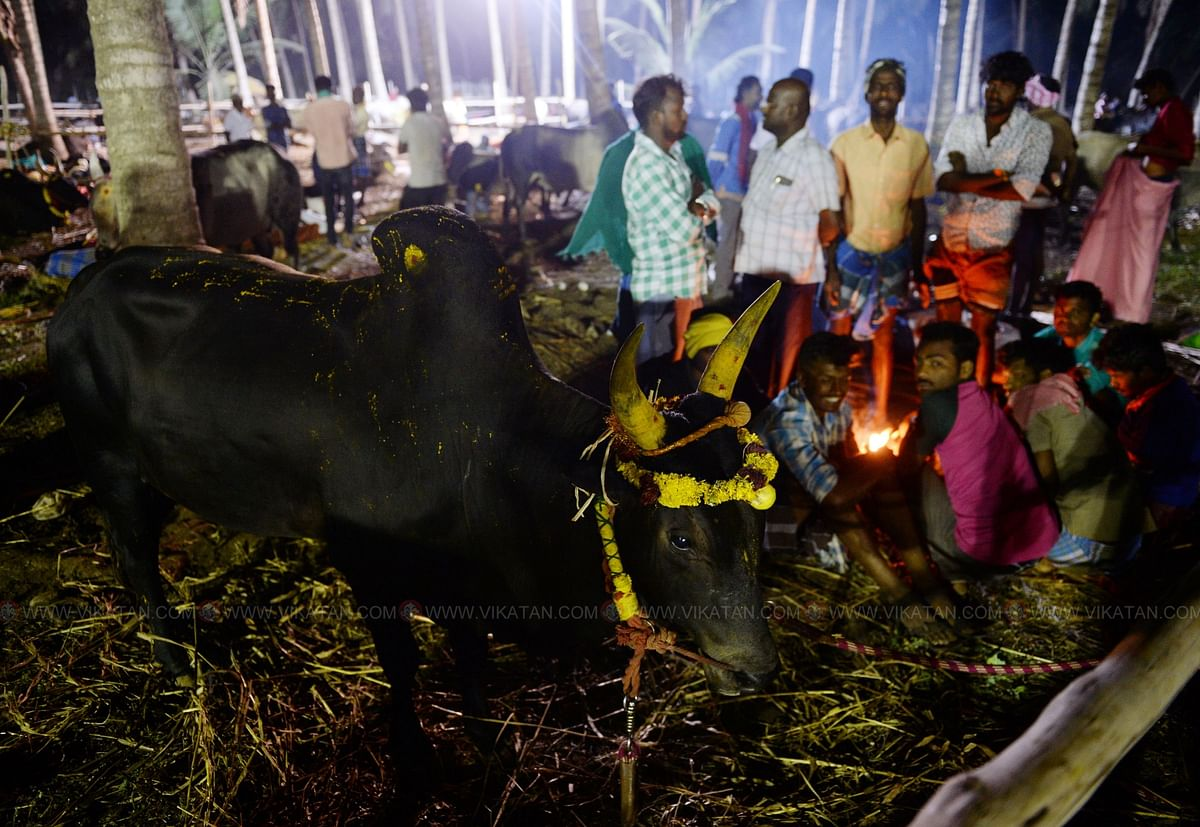 காலை 4:30 மணி   செட்டிபாளையம் பகுதியில் அதிகாலை நேரத்தில் பனி அதிகமாக இருந்ததால், காளைகளுக்கு அருகில் நெருப்பு மூட்டி அமர்ந்திருக்கும் உரிமையாளர்கள்