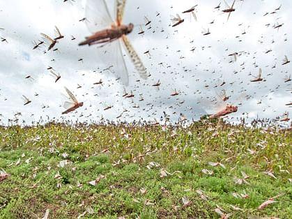 குஜராத்தைச் சூறையாடிய பாலைவன வெட்டுக்கிளிகள்!