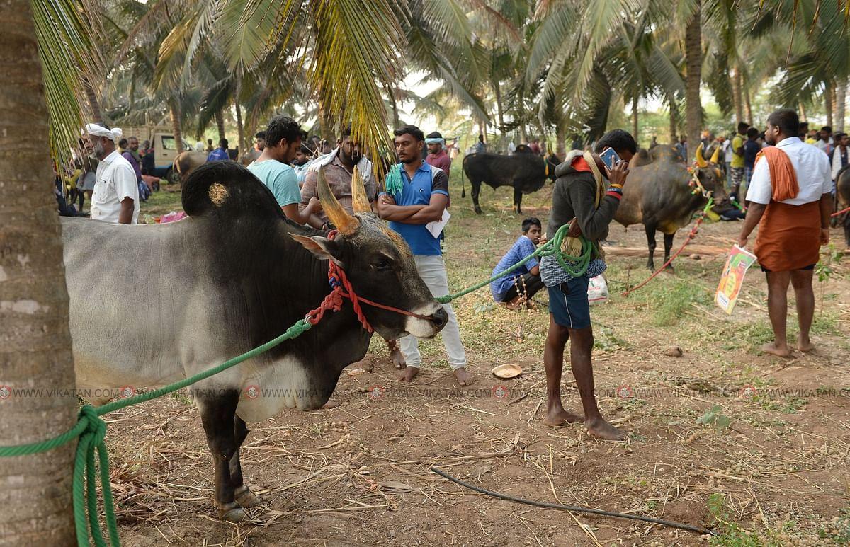 காலை 5:30 மணி   அருகிலிருந்த தென்னை தோப்பில் காளைகளுடன் காத்திருக்கும் உரிமையாளர்கள்
