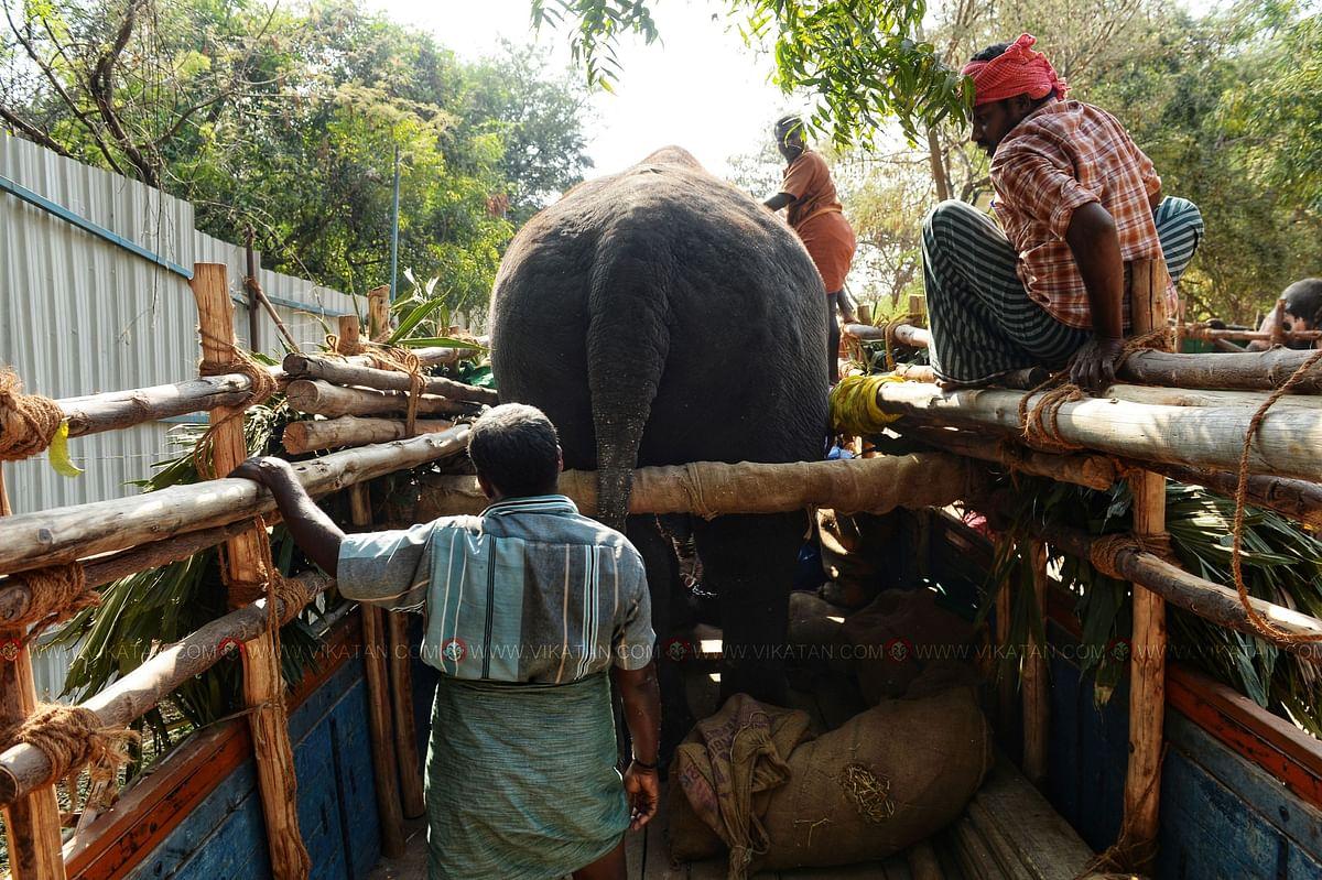 லாரியில் ஏற்றப்பட்ட  யானை பாதுக்காப்பாக உள்ளதா என அனைத்து பகுதிகளையும் உதவியாளர்கள் பார்க்கின்றனர்