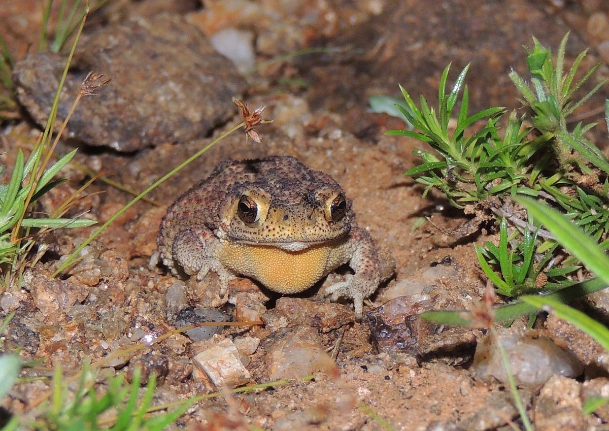 தேரை (Common Toad)