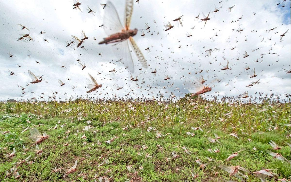 குஜராத்தில் 12,000 ஹெக்டேர் பயிர்களை சூறையாடிய பாலைவன வெட்டுக்கிளிகள்!