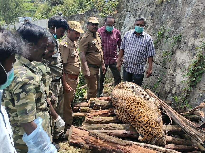 leopard death