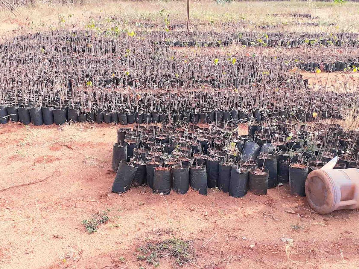 கருகிப்போன 5,000 மரக்கன்றுகள்