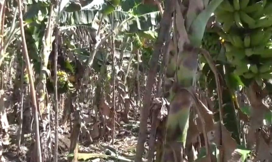 அழுகும் வாழைத்தார்கள்