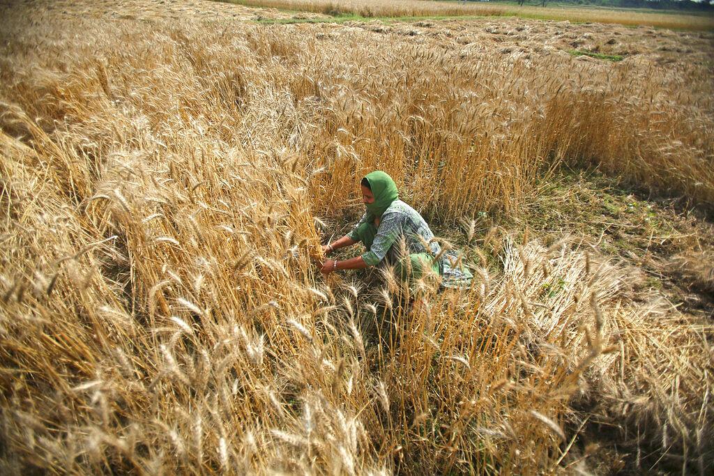wheat Harvesting in Jammu