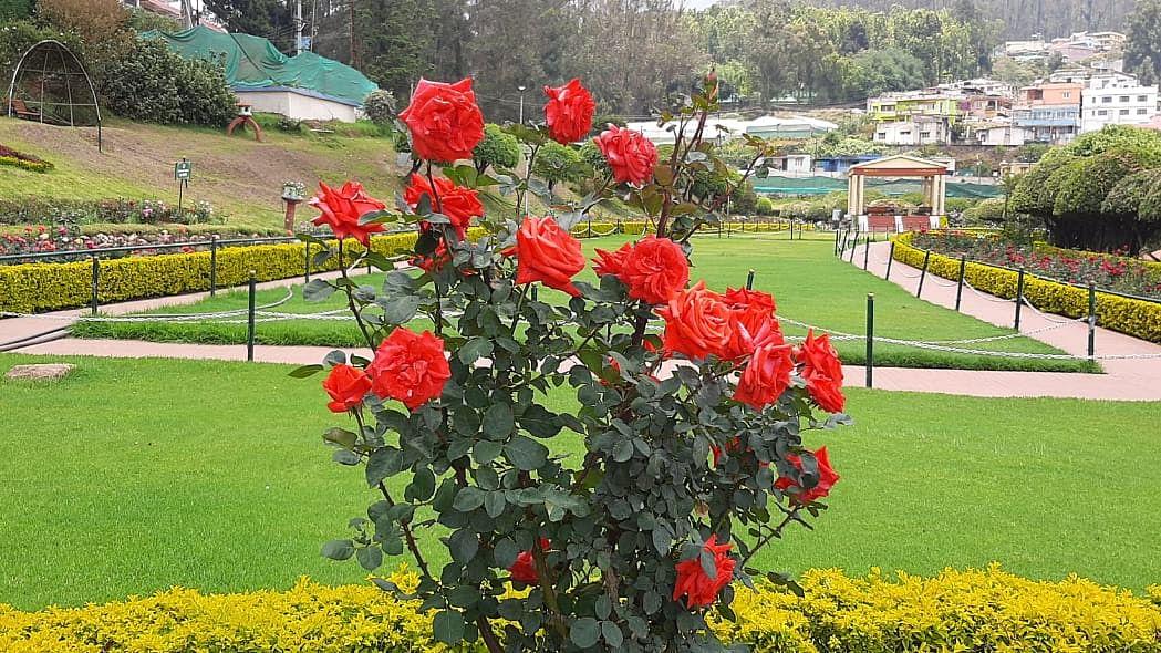 ooty rose park