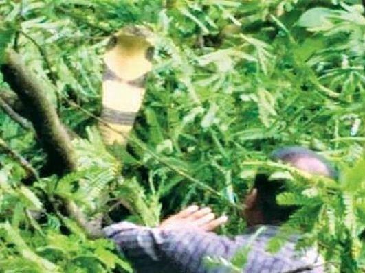 `13 அடி நீளம்.. 9 கிலோ எடை..!' - குடியிருப்புவாசிகளுக்கு அதிர்ச்சி கொடுத்த ராஜநாகம்