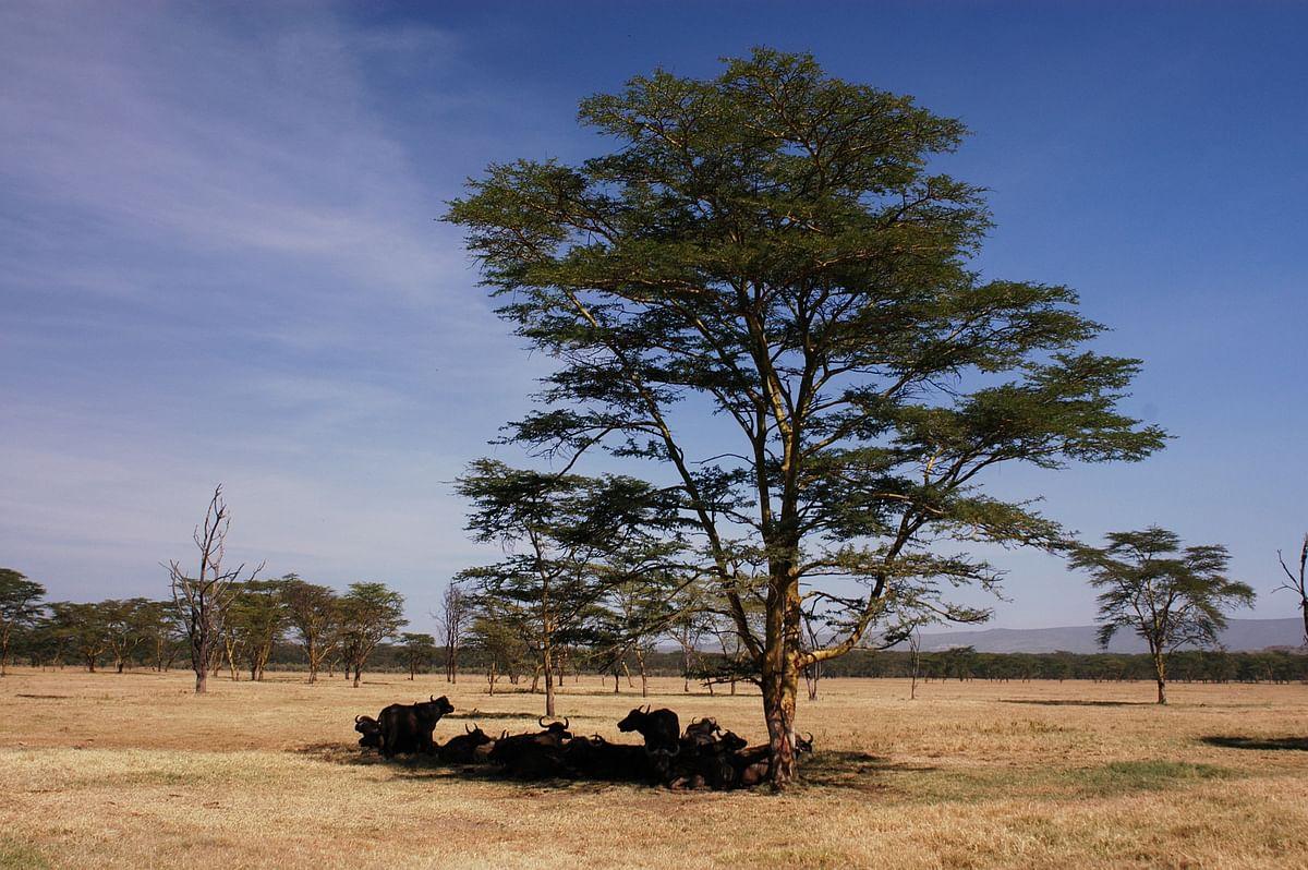 வெப்பம் தாளாமல் ஒற்றை மரத்தில் ஒதுங்கி நிற்கும் கால்நடைகள்