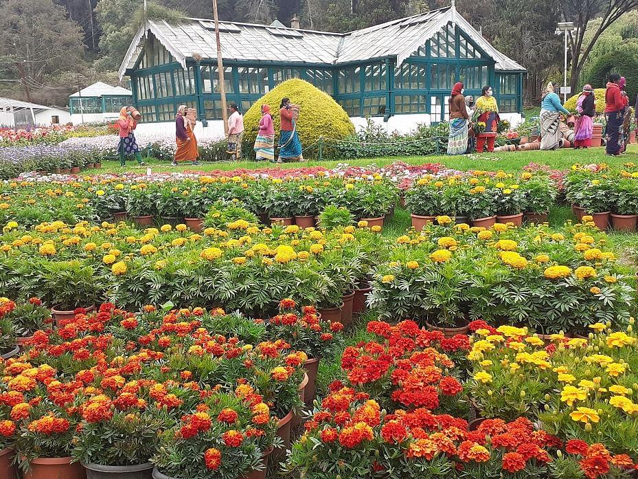 `4 ரகங்கள்; 5,000 மலர்த் தொட்டிகள்!' - ஊட்டி பூங்காவில் மலர்களால் வடிவமைக்கப்பட்ட கொரோனா வைரஸ்
