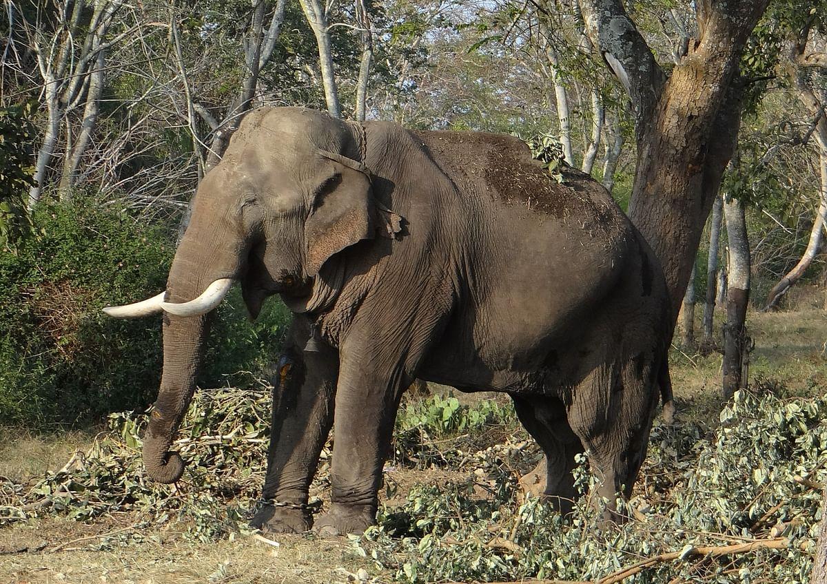 காட்டுயிர் வளம்/ ஆசிய யானை