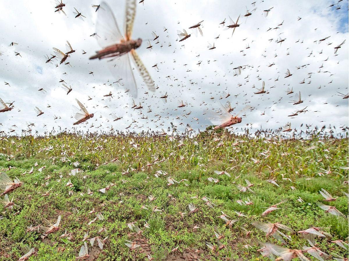 `படையெடுக்கும் வெட்டுக்கிளிகள்; அழிப்பிலும் ஆபத்து!' - பாகிஸ்தான் சொல்லும் சிம்பிள் யோசனை #Locust
