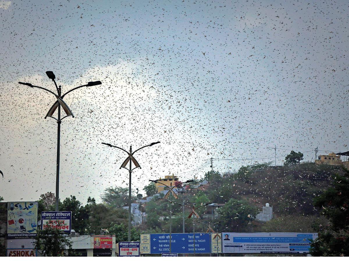 Locust attack in agriculture land