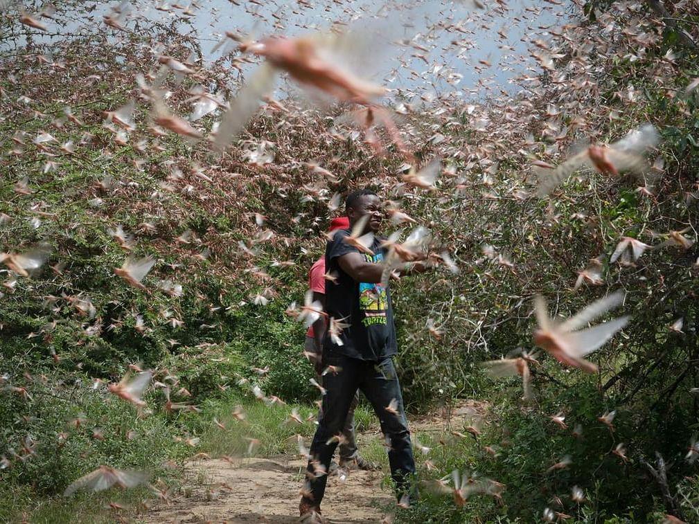 10 நாள்களில் 5000 கிலோ மீட்டர் பயணித்த வெட்டுக்கிளிகள்... அதிர வைக்கும் வரலாற்றுப் பேரழிவுகள்!