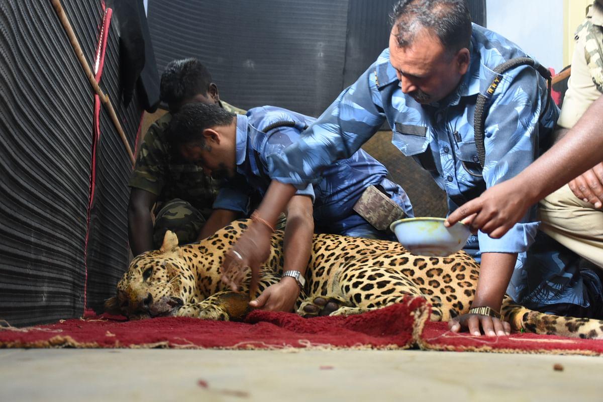 leopard treatment