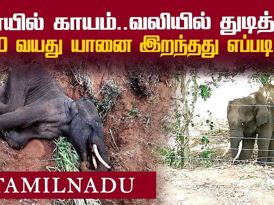 `குச்சியா? அவுட்டுக்காயா?' கோவை யானை மரணத்தில் சந்தேகம் ! | Elephant