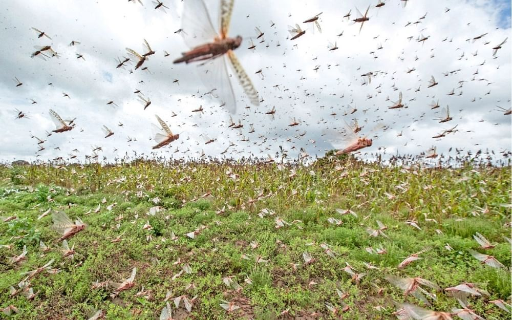 `வெட்டுக்கிளி தாக்குதலைக் கட்டுப்படுத்த கலவைக்கரைசல்!' -  இயற்கை விவசாயியின் தீர்வு
