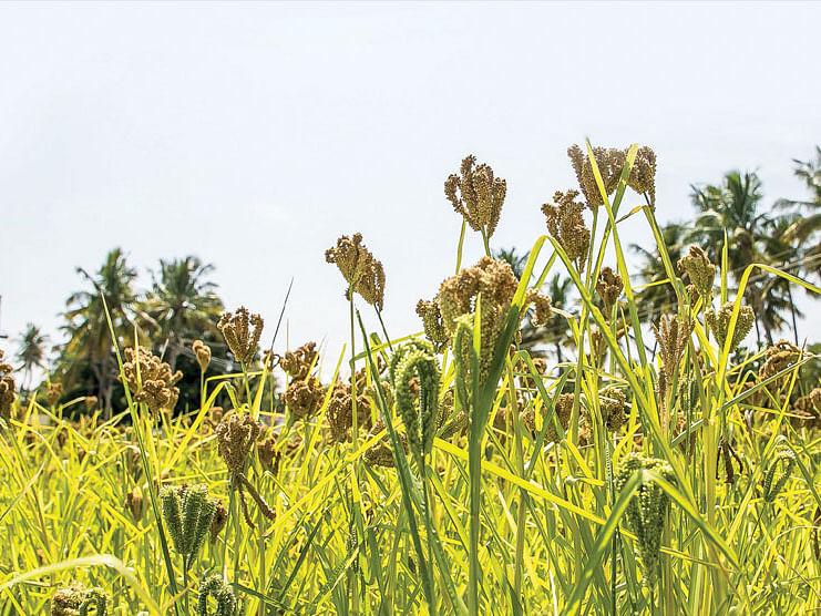 சரித்திர விலாஸ்: இன்றைய மெனு - கேழ்வரகு