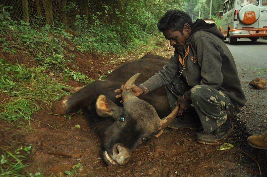 gaur rescue