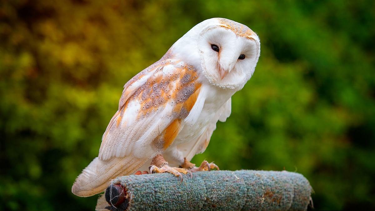 கூகை/Barn Owl