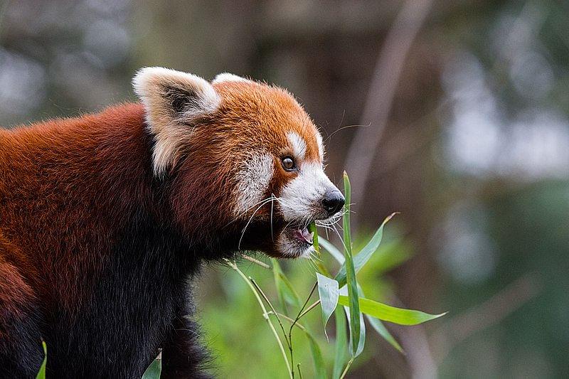 Red Panda/ Dibang Valley