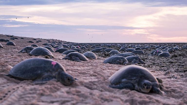 பச்சை ஆமைகள்/ Green sea turtle