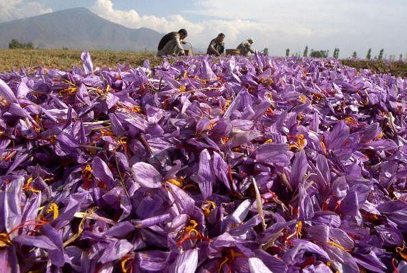 Kashmir Valley's Saffron