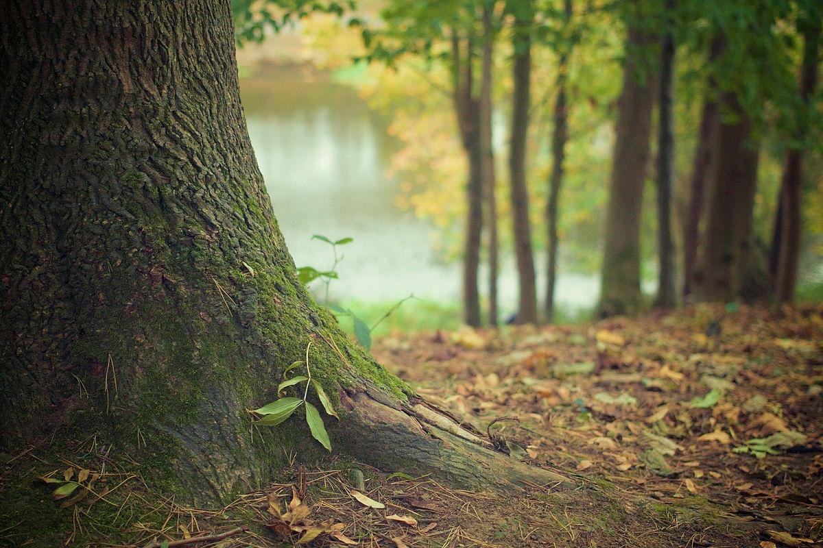 கரிம தன்மயமாக்கல் (Carbon Sequestration) - மரங்கள் கரிம வாயுவைக் கிரகித்து வைக்கும் செயல்முறை