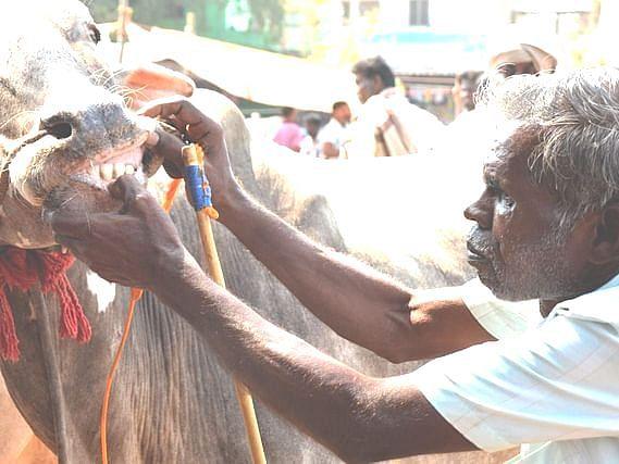 வேலூர்: `ஒருநாள் வியாபாரமே 1.5 கோடி ரூபாய்!' - மாட்டுச் சந்தை மூடலால் கலங்கும் விவசாயிகள்