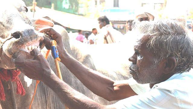 மாட்டின் பல்லைப் பார்த்து ஆரோக்கியத்தைக் கணக்கிடும் விவசாயி