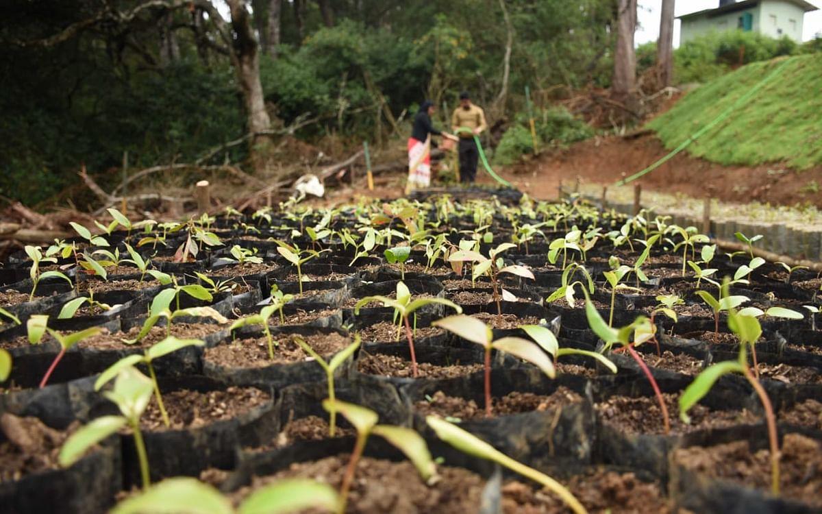 நீலகிரி: `இலக்கு 7,000 சோலை மரக்கன்றுகள்!' - வனங்களை மீட்டெடுக்கும் தோடர்கள்