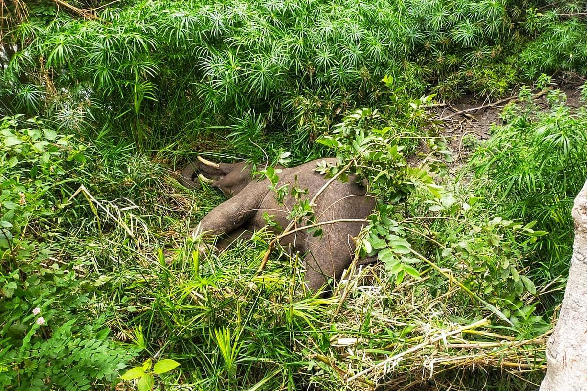 elephant found dead