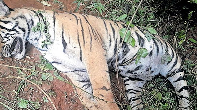 tiger found dead