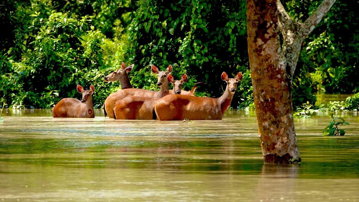 காசிரங்கா தேசியப் பூங்காவில் தப்பிக்க முயலும் மான்கள்